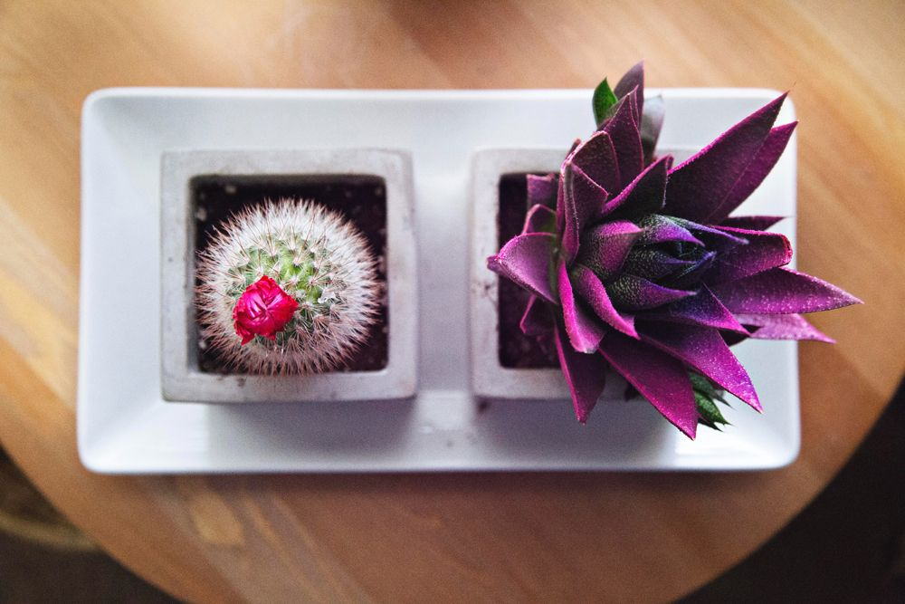 succulent-plant-cacti-purple-plant